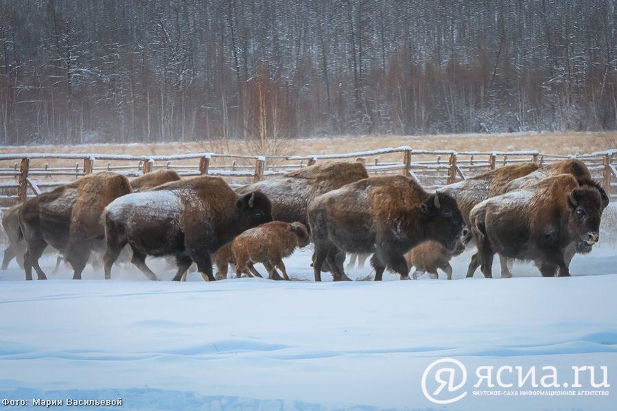 Егор Борисов ойуур бизонун РФ фаунатын испииһэгэр киллэрэргэ этии киллэрдэ