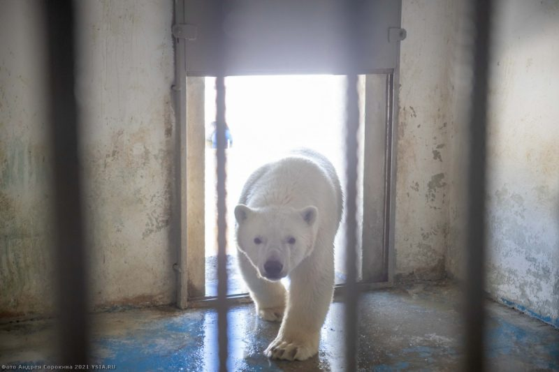 Москуба зоопарката үрүҥ эһэҕэ аат иҥэрэргэ күрэх биллэриэ