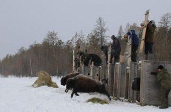 Кэмпэндээйитээҕи пааркаҕа эһиил эбии 10 ыччат бизону аҕалыахтара
